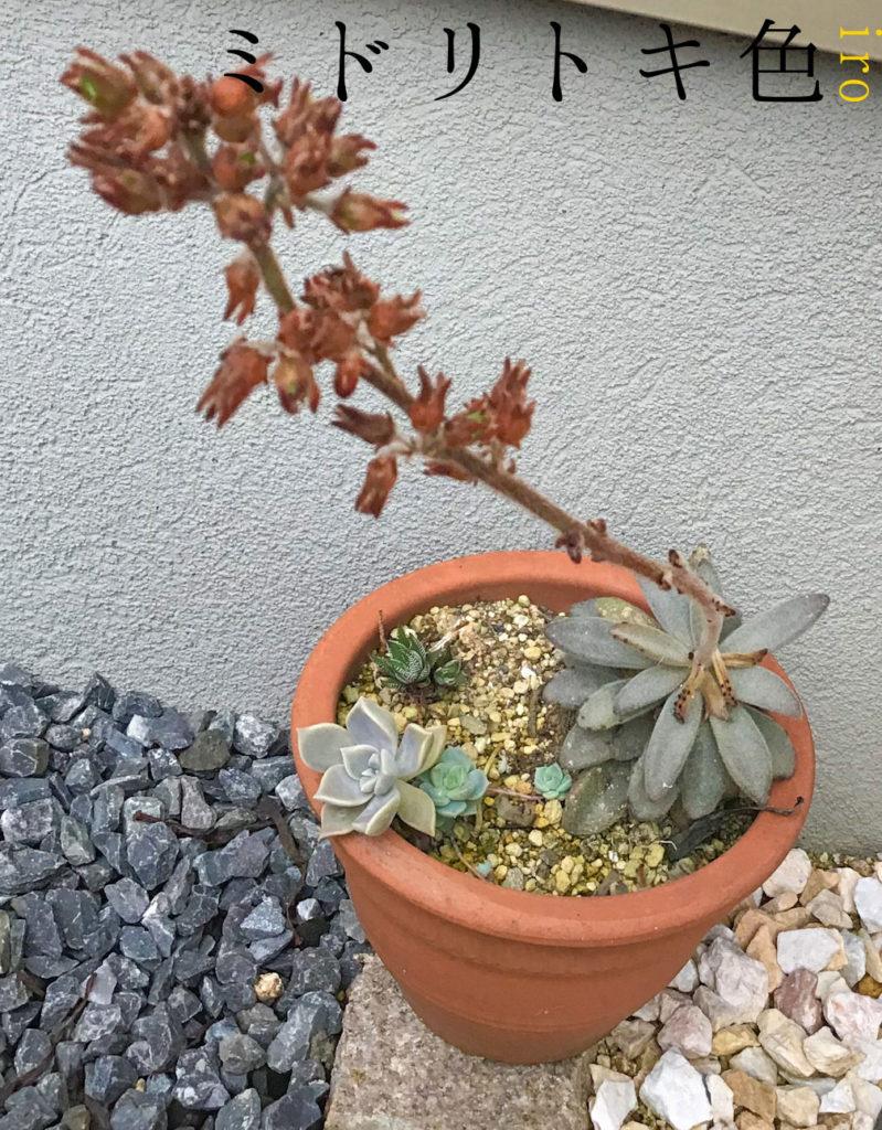 月兎耳の花/ミドリトキ色