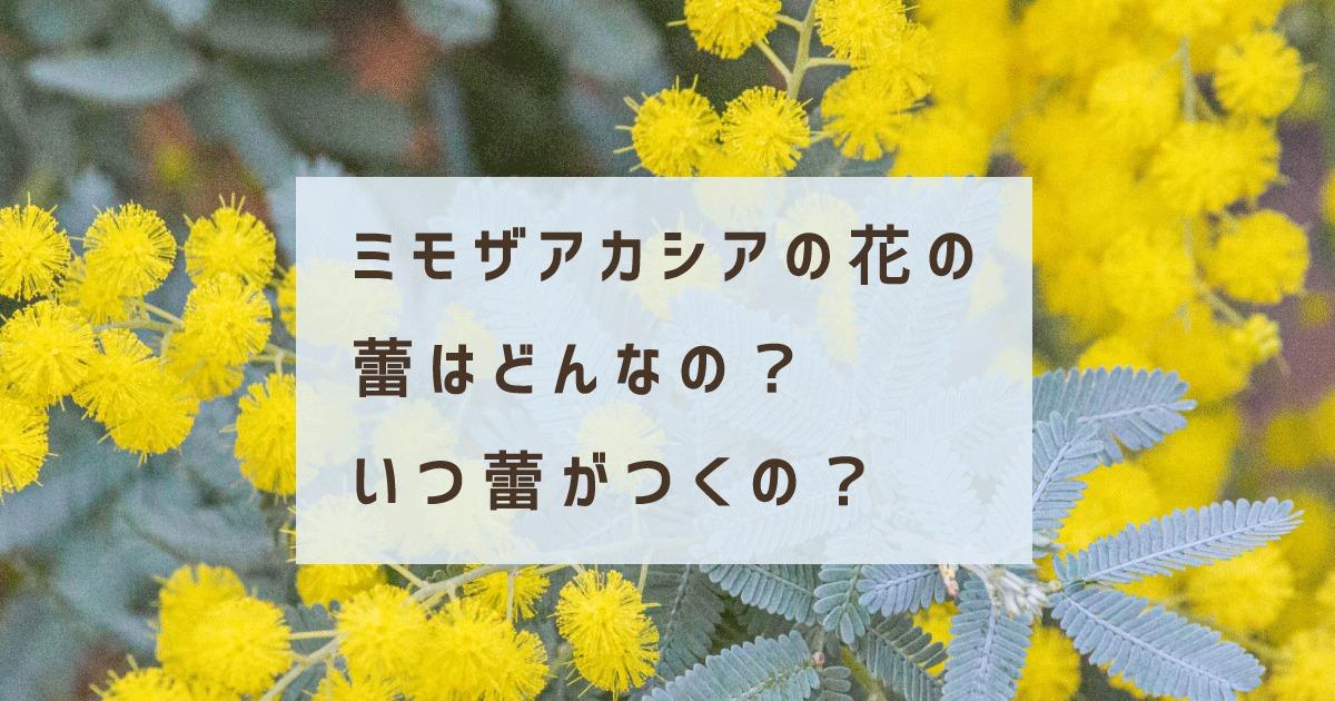ミモザアカシアの花の蕾はどんなの?いつ蕾がつくの?