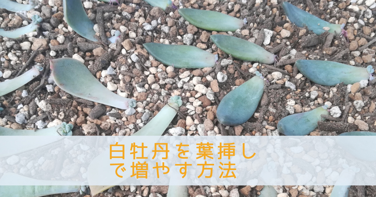 白牡丹を葉挿しで増やす方法