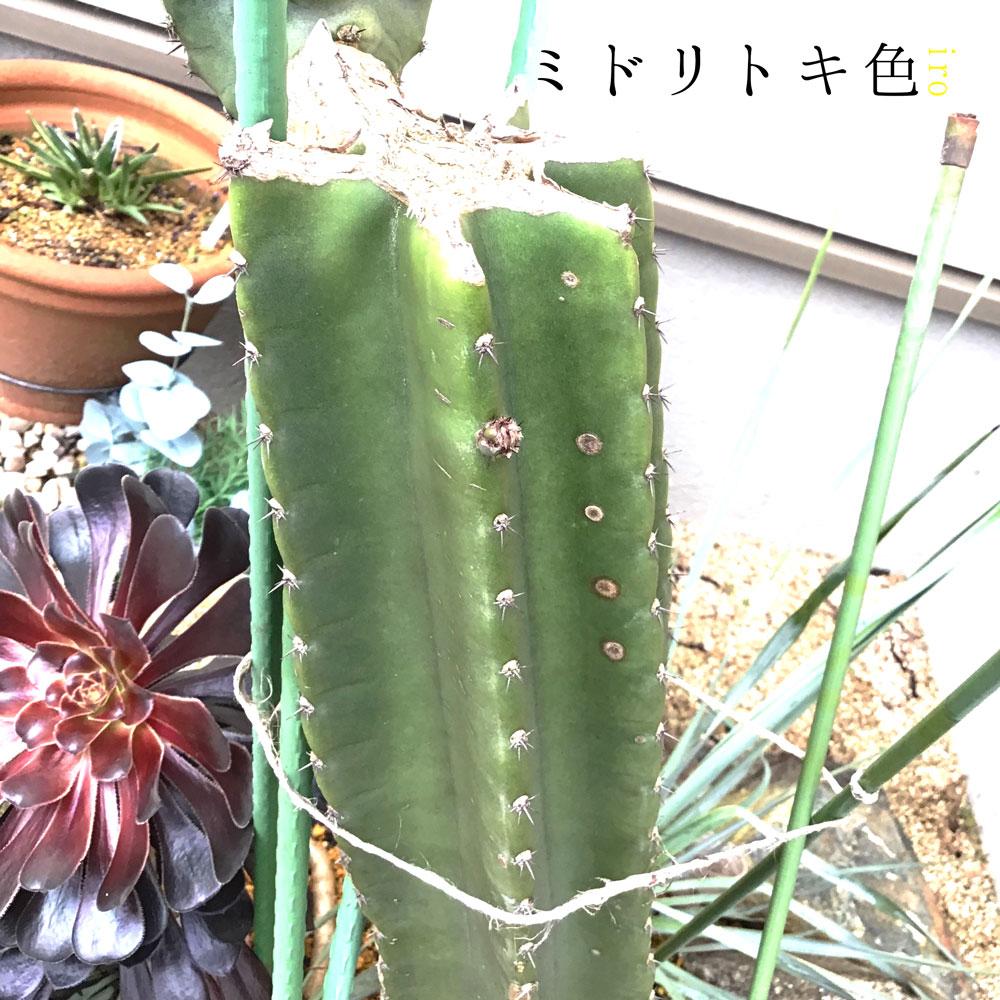 柱サボテンの子株/ミドリトキ色