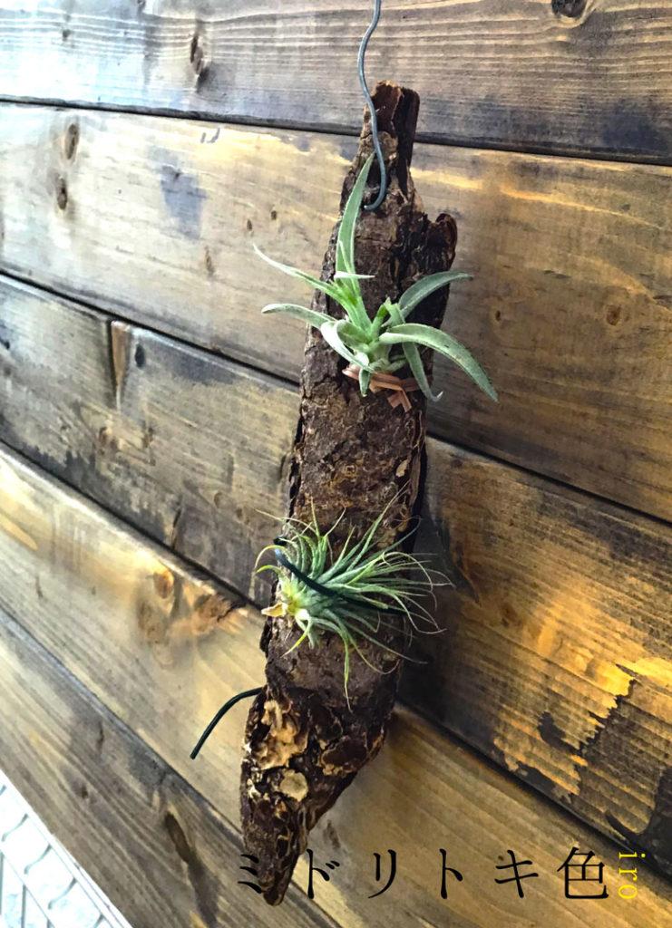 ティランジアの植え付け/ミドリトキ色