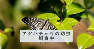 アゲハチョウの幼虫飼育中
