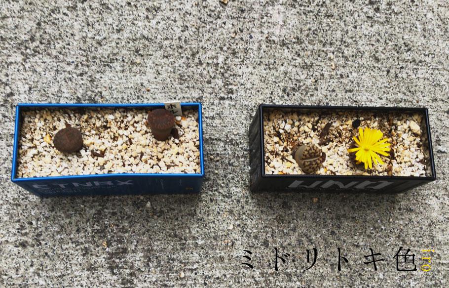 リトープス/ミドリトキ色