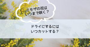 ミモザの花はいつまで咲く?ドライにするにはいつカットする?