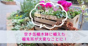 空き缶植木鉢に植えた福兎耳が大変なことに!耐久性はどれくらい?