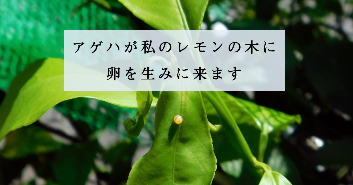 アゲハが私のレモンの木に卵を生みに来ます