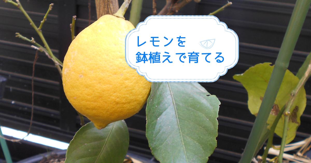 レモンを鉢植えで育てる