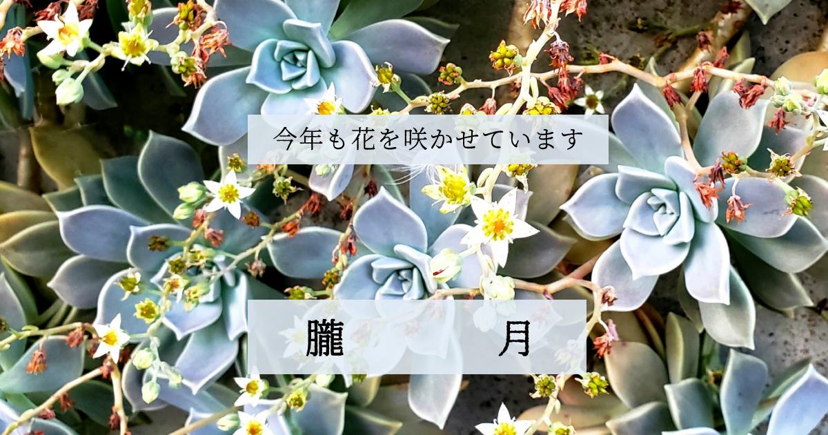 朧月が今年も花を咲かせています