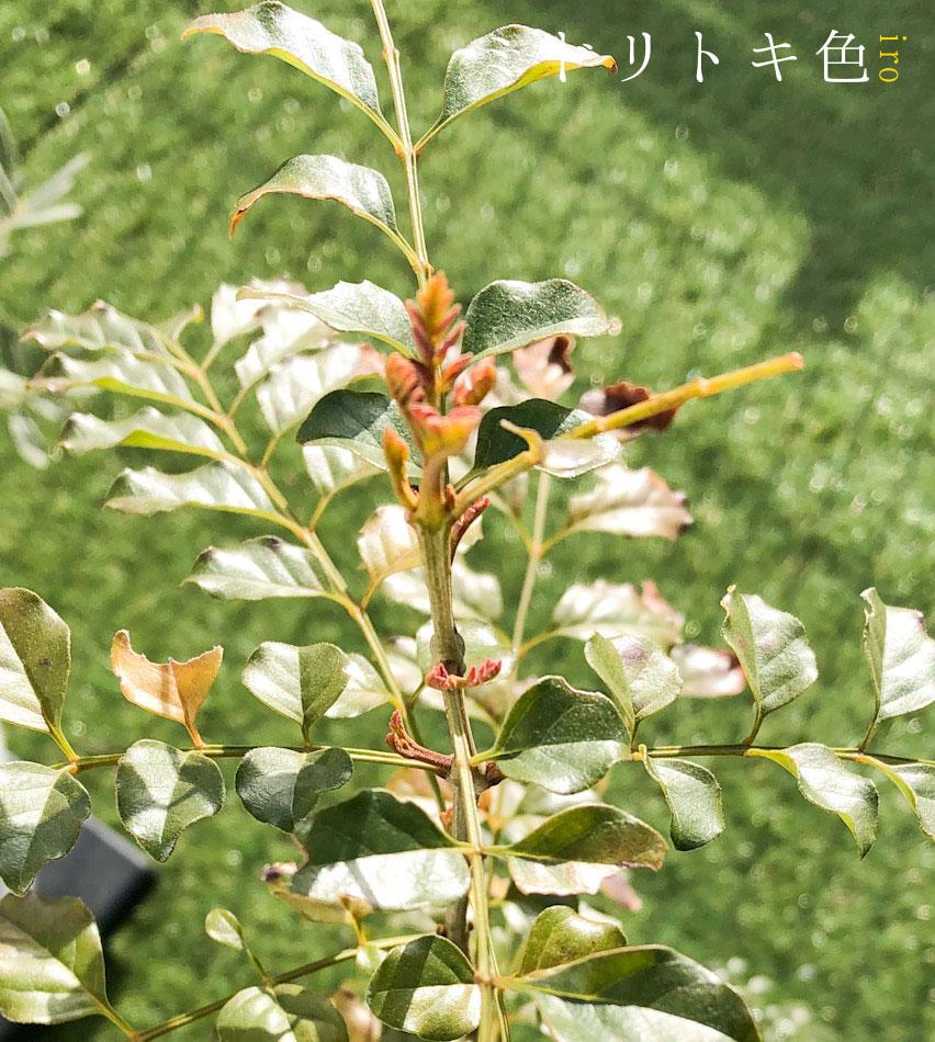 シマトネリコの新芽/ミドリトキ色