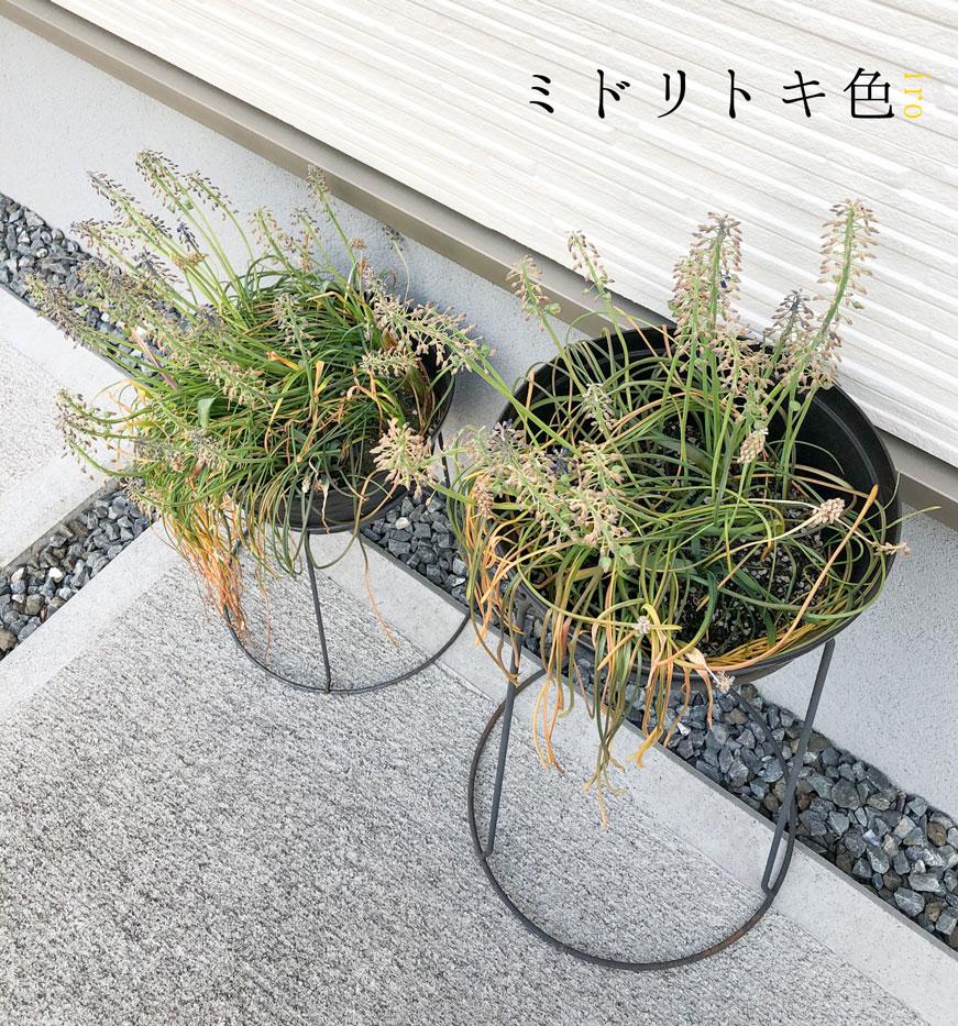 花が終わったムスカリ/ミドリトキ色