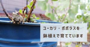 ユーカリ・ポポラスを鉢植えで育てています