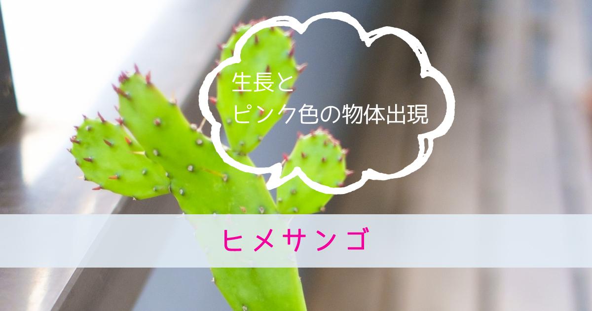 ヒメサンゴ(サボテン)の生長とピンク色の物体出現