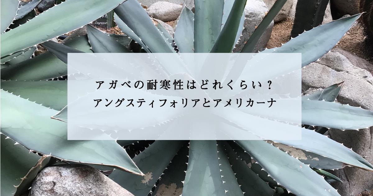 アガベの耐寒性はどれくらい?アングスティフォリアとアメリカーナ