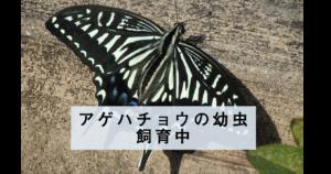 アゲハチョウの幼虫飼育中その2