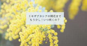 ミモザアカシアの開花までもう少し!いつ咲くの?