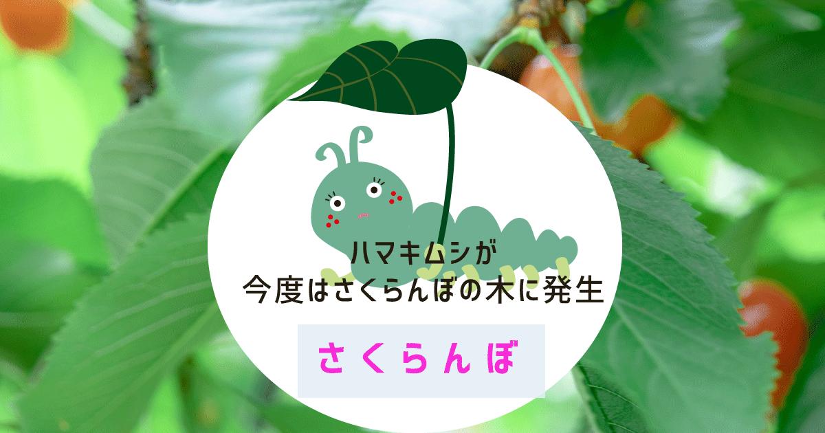 ハマキムシが今度はさくらんぼの木に発生
