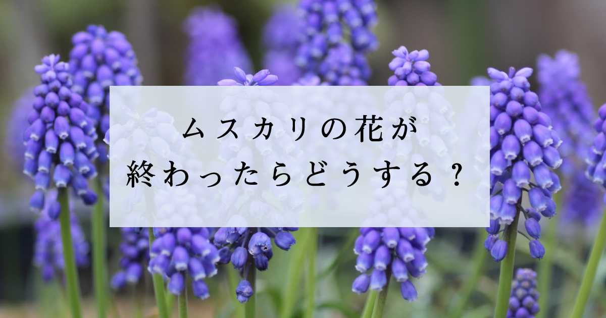ムスカリの花が終わったらどうする?