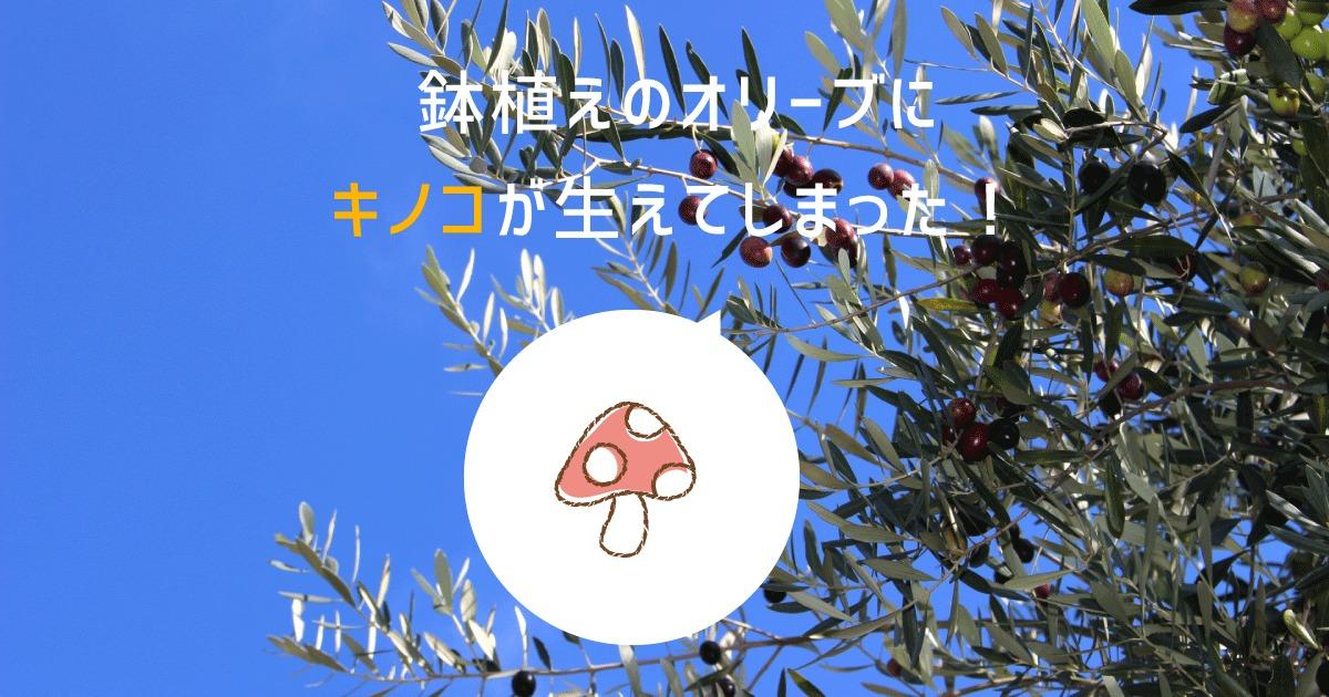 鉢植えのオリーブにキノコが生えてしまった!