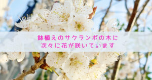 鉢植えのサクランボの木に次々に花が咲いています