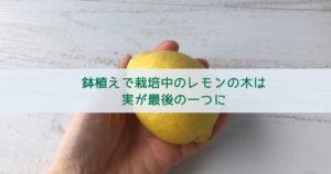 鉢植えで栽培中のレモンの木は実が最後の一つに